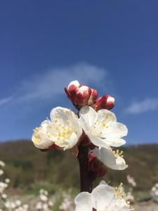 Marillenblüte Hochformat